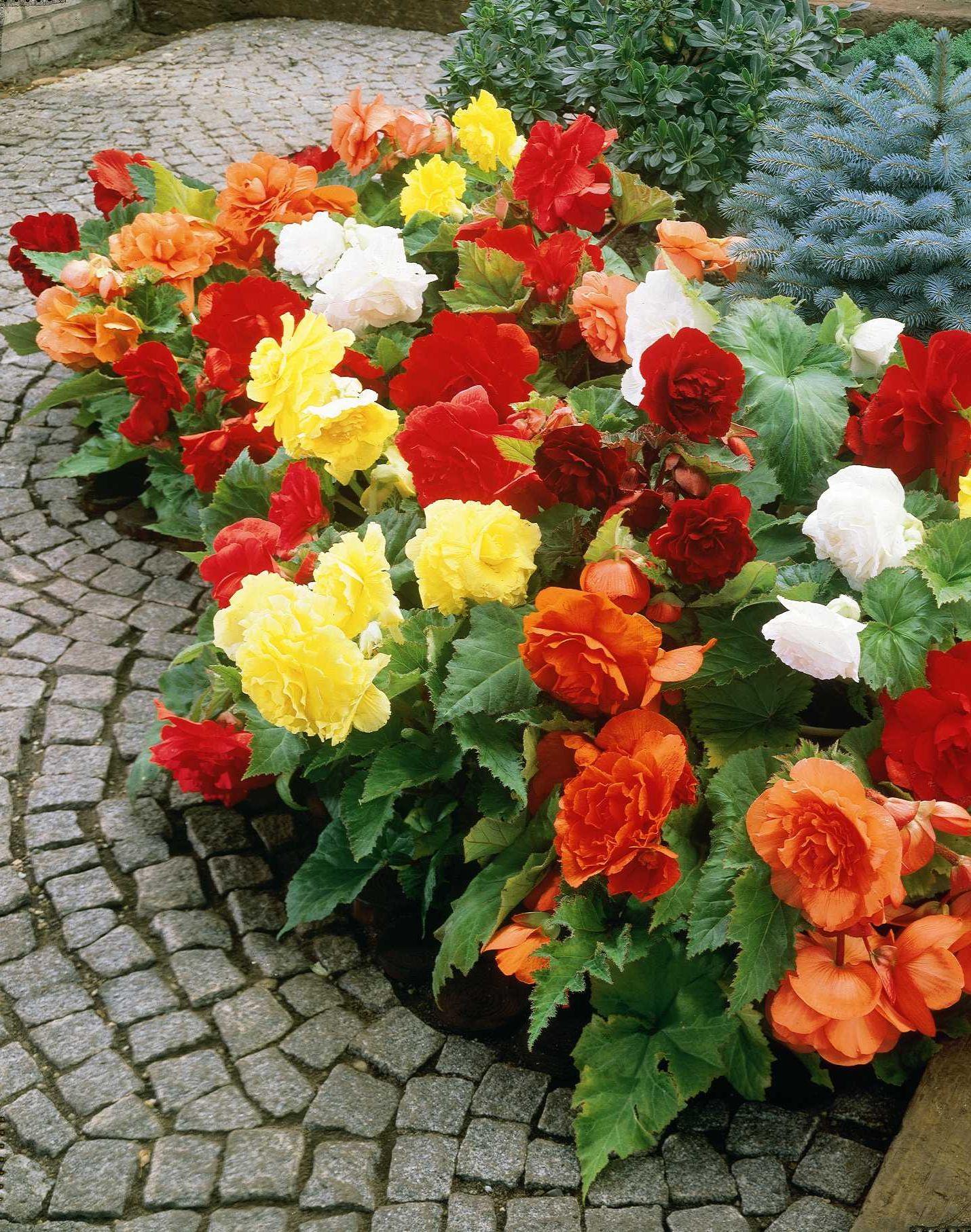 Garden Flower Begonia Design And Ideas