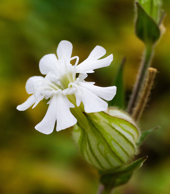 Garden Flower Bladder Campion