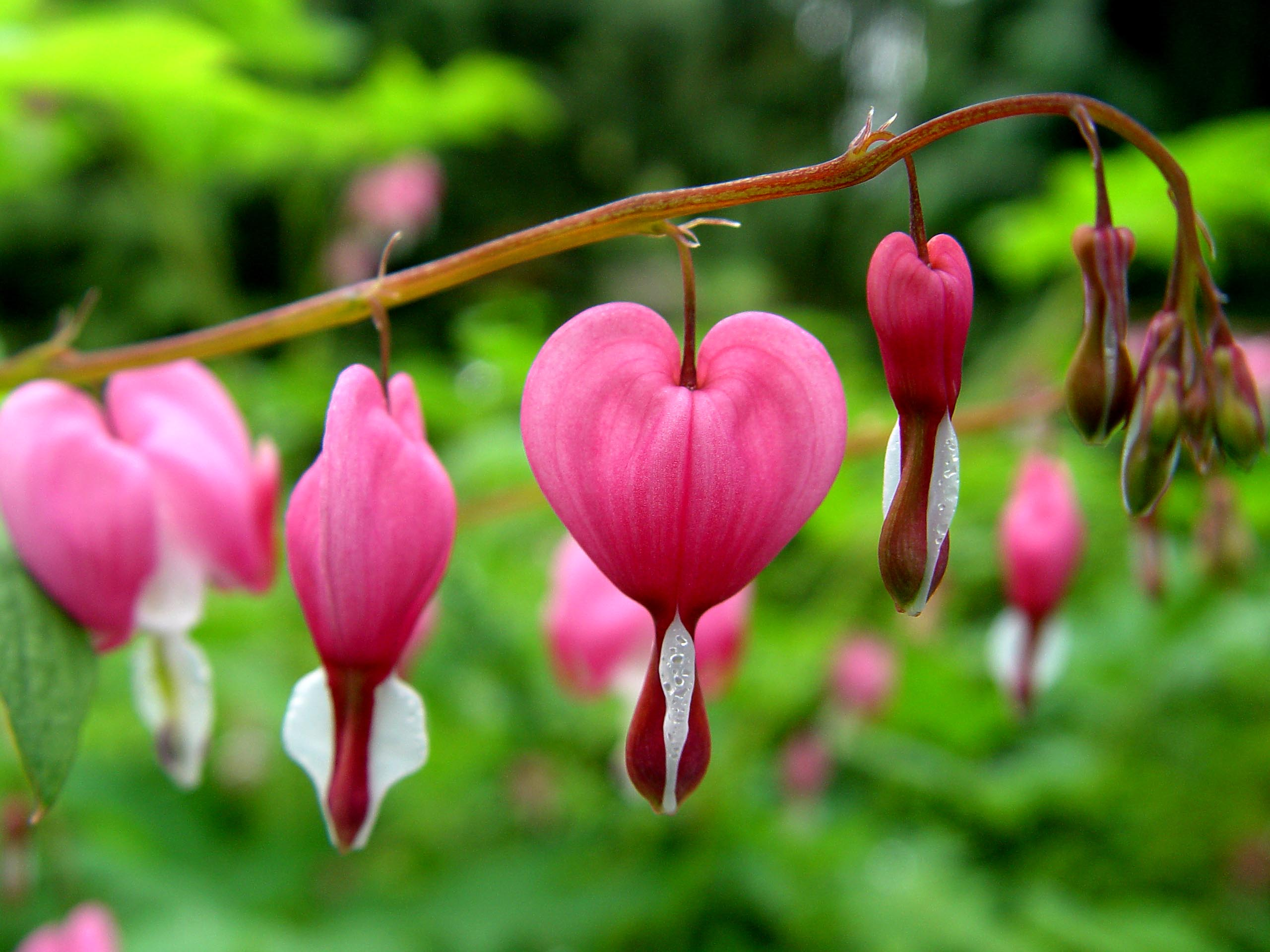 Garden Flower Bleeding Heart