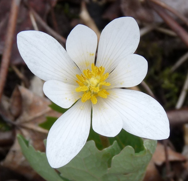 Garden Flower Bloodroot photo - 2