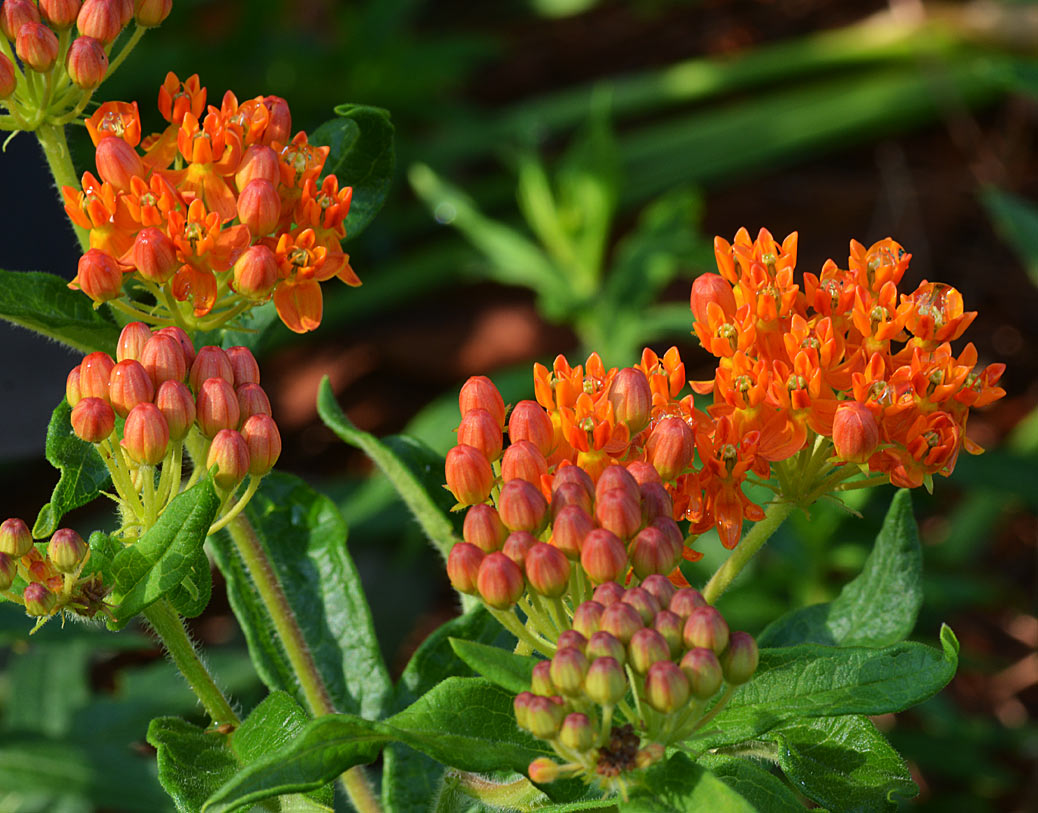 Garden Flower Butterfly Weed photo - 1