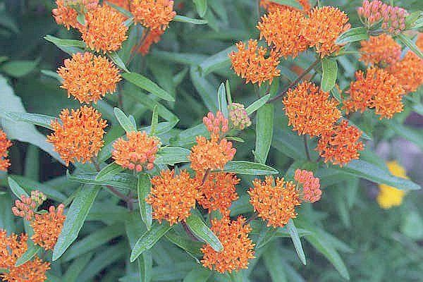 Garden Flower Butterfly Weed photo - 2