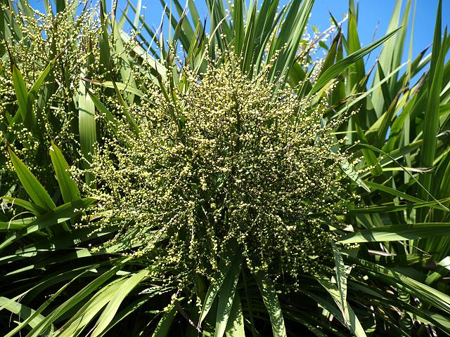 Garden Flower Cabbage Palm photo - 2