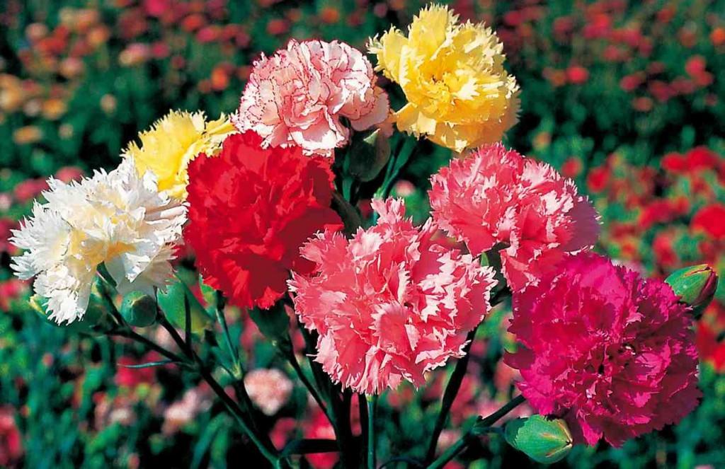 garden flower carnation_2228_1024_663