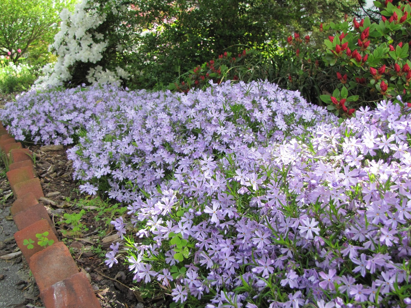 Garden Flower Creeping Phlox