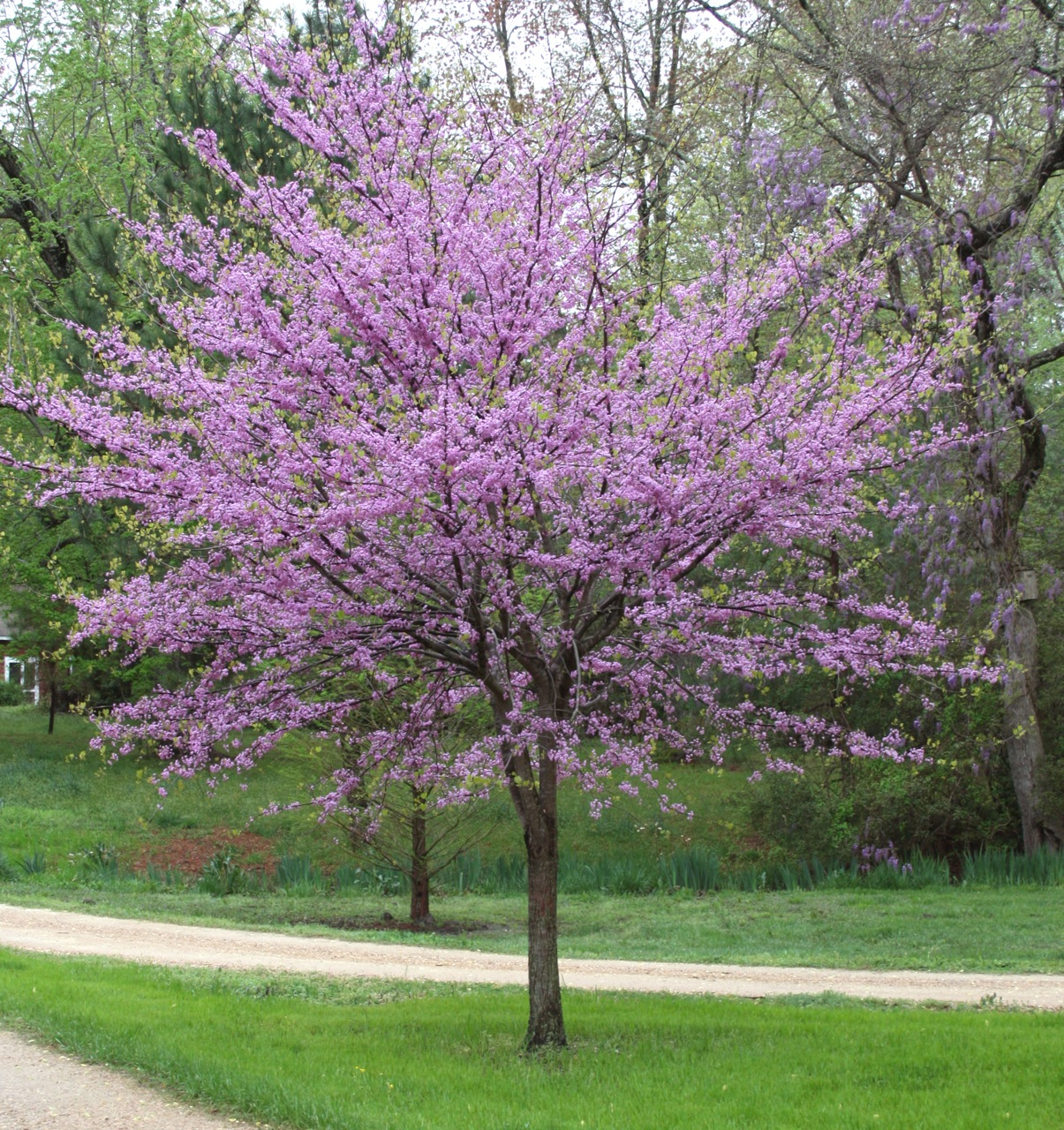 Garden Outdoor Cercis Tree