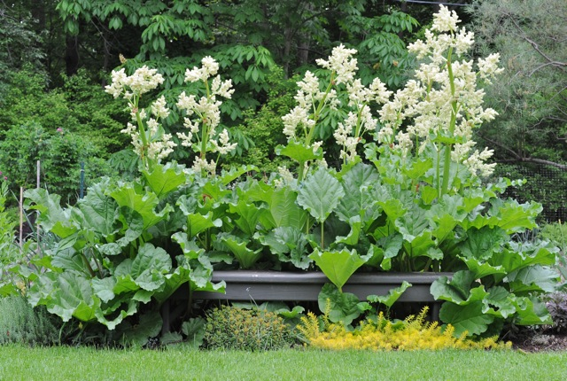 Garden Outdoor Rhubarb
